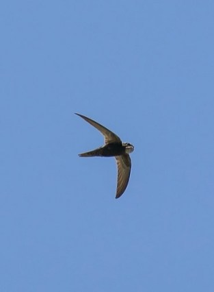 Common swift (Apus apus) by Imran Shah