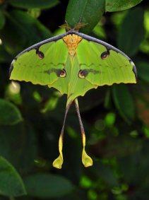 african-moon-moth-argema-mimosae