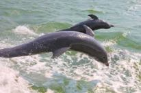 pine island dolphins