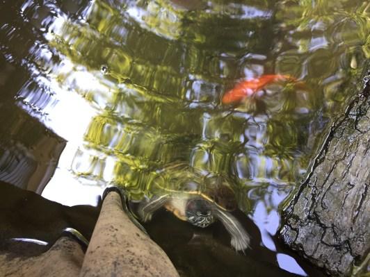Benji and Yin and Yang (Gold Fish) in Pond