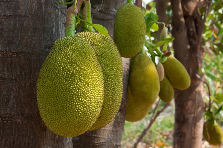 Group of Jackfruit
