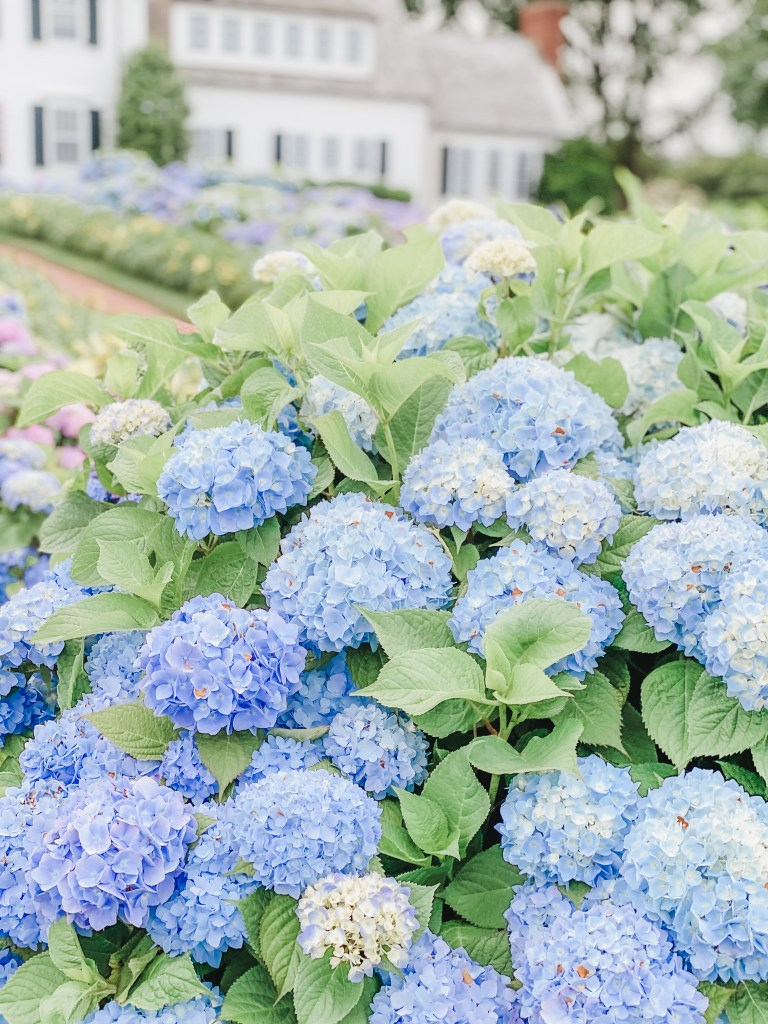 Hydrangeas can be found in full blooms in the summer months in Cape Cod. Keep reading for the town that is Cape Cod hydrangea heaven!