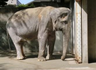 Dünyanın en yalnız fili Hanako'nun hikayesi