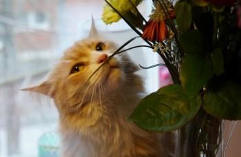 Sibirisk katt doftar på blommor!