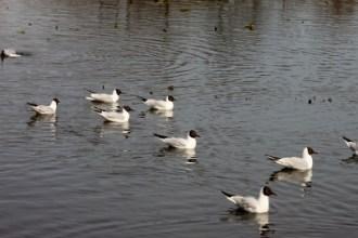 Skrattmåsar, Råstasjön