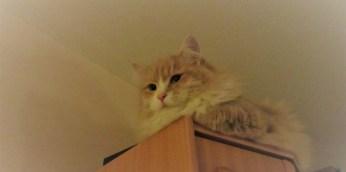 Sibirisk katt, på bokylla