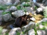 Brunbjörn, Skansen