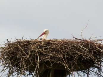 Fulltofta, vit stork