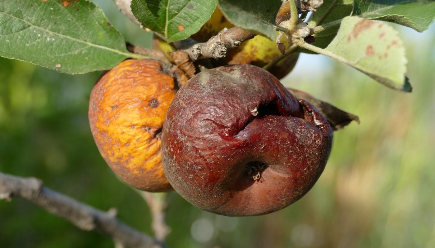 Rotte appels in de landbouw