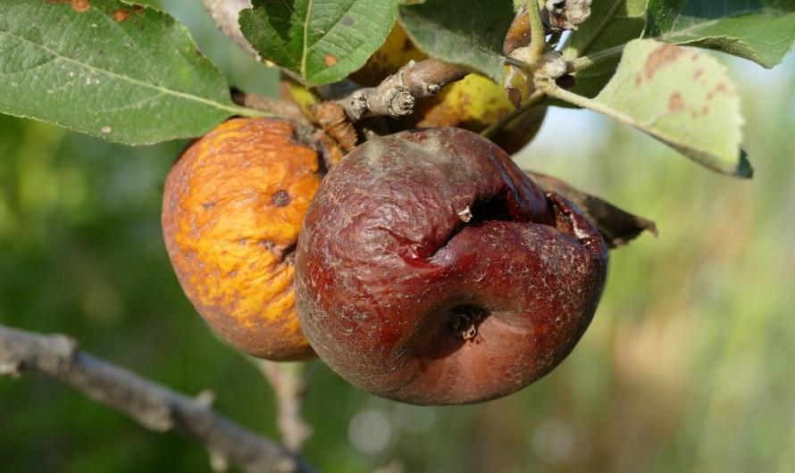 De rotte appels in de landbouw rotten erger