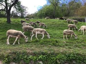 Mouton Boutx