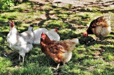 Adopter poules Pyrénées