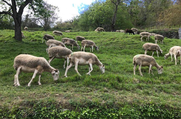 Vente agneaux Cédric Sague Boutx