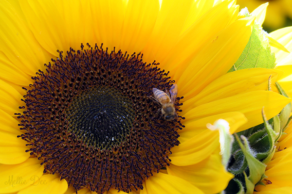 Dane County Farmer's Market | Madison, Wisconsin | Sunflower & Bee