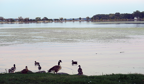 Lake | Madison, Wisconsin | Ducks