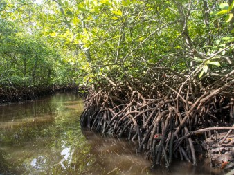 Mangrove de Nusa Lempongan
