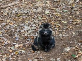 Sentier pédestre dans le Domaine des Grottes de Han : chien viverin