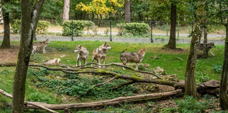 Sentier pédestre dans le Domaine des Grottes de Han : les loups