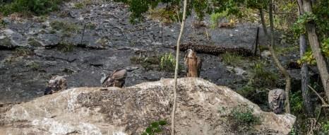 Sentier pédestre dans le Domaine des Grottes de Han : vautours
