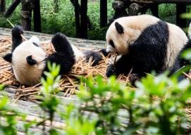 Centre de recherche sur le Panda géant de Chengdu