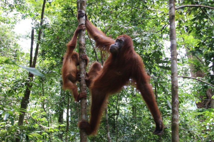 indonesie_mademoiselle-voyage_sumatra__orang-outang_12-1030x687 (1)