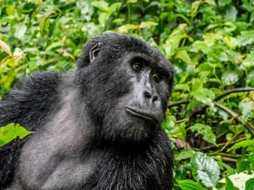 Gorille de Bwindi Impenetrable Forest