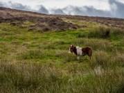 Poneys Shetland-3