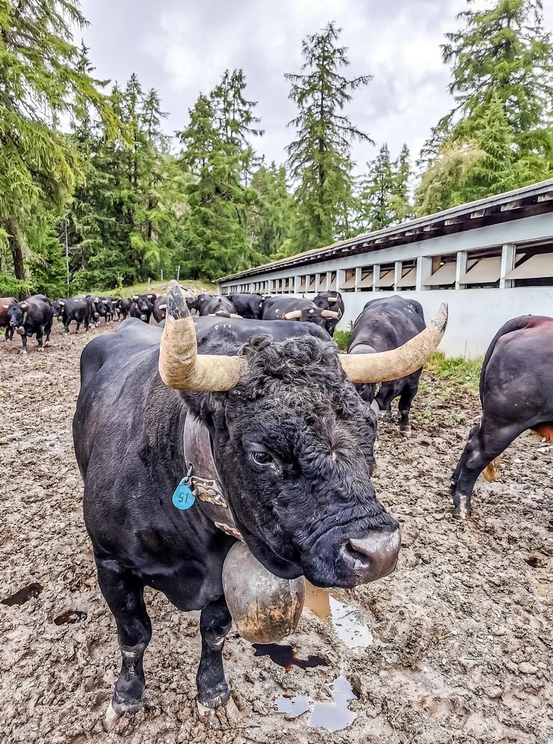 Vaches d'Hérens au Col du Lein