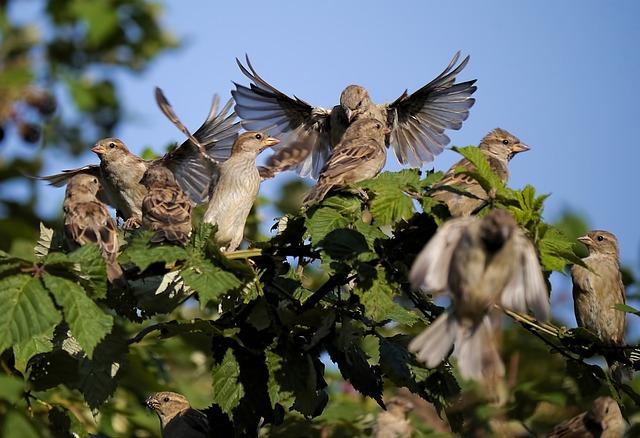 Dancing sparrows