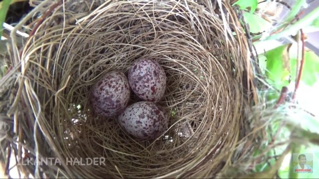 Eggs of red-vented Bulbul