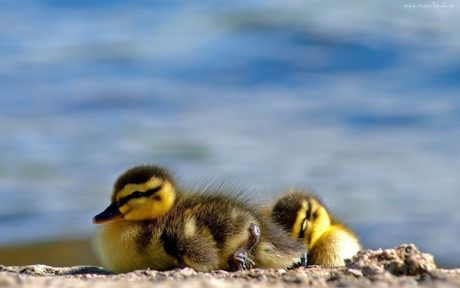 Sleepy Duckling Pictures