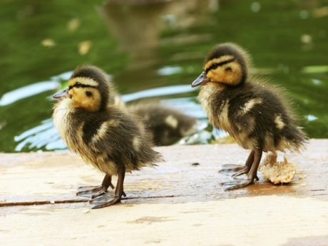 Baby Duck Images