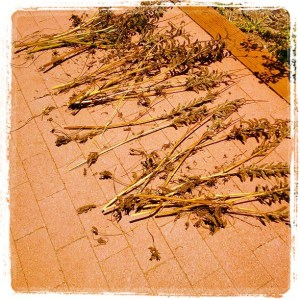 Lupine stalks laid out on a brick patio to dry.