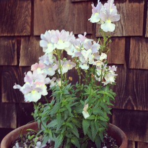 Whitish-lavender flowers in a terra cotta pot