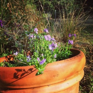 Lavender flowers and a twining vine in a terra cotta pot. Small blades of what looks like grass but are actually bulbs are just peeping out.