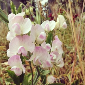 Soft white-pink sweet pea blooms.