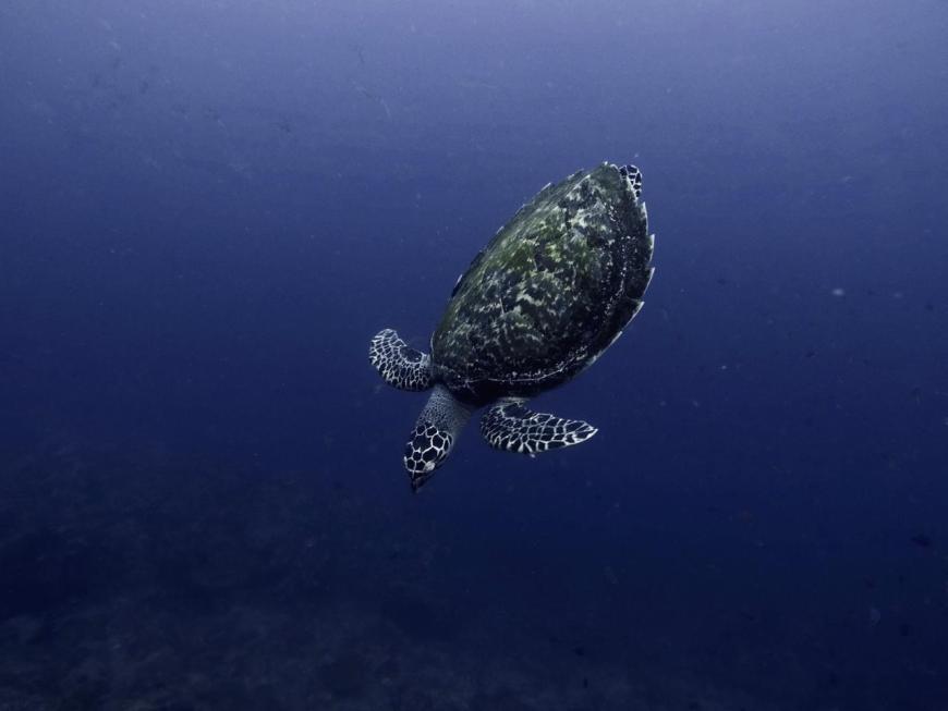 tortuga en islas perhentian