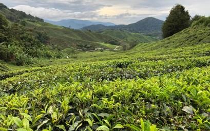cameron highlands plantaciones de té