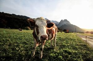 A young cow in a sunny green field looks toward the camera