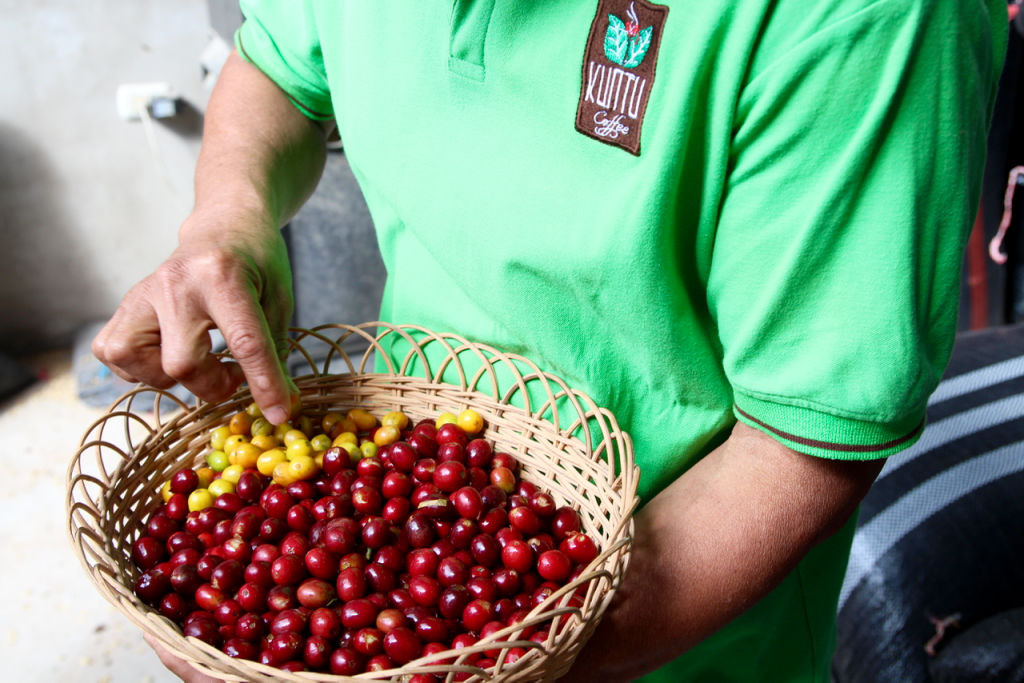 specialty coffee in Peru_aproeco_coffee cherries