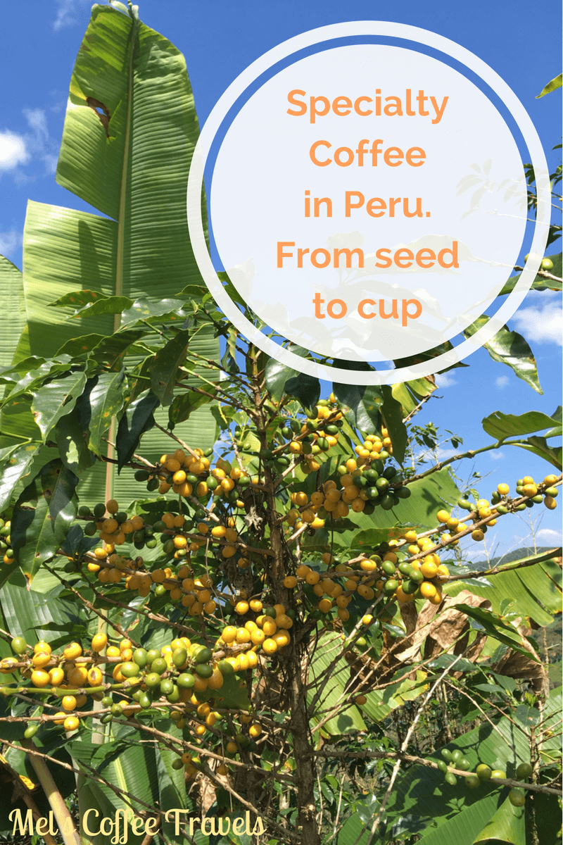 specialty coffee in peru_from seed to cup