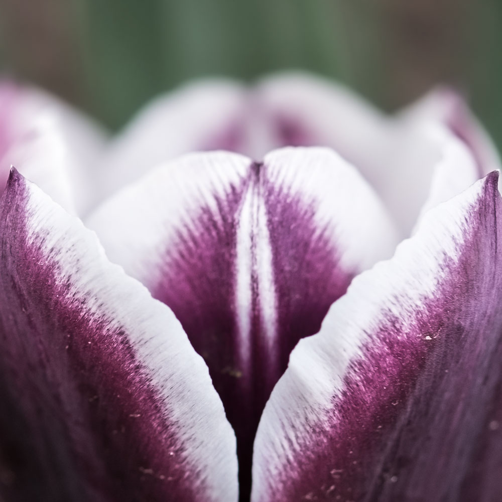 purple-tulip.jpg?fit=1000%2C1000