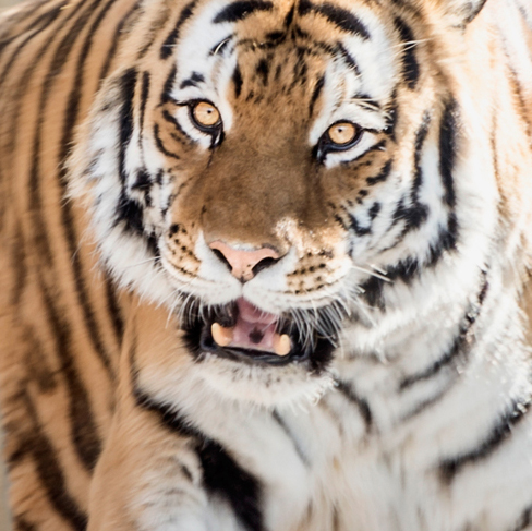 tiger.jpg?fit=488%2C487