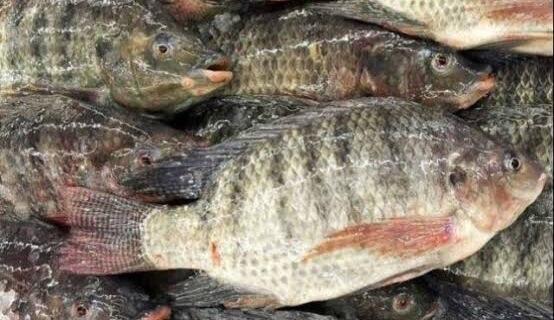 Umpan mancing ikan mujair