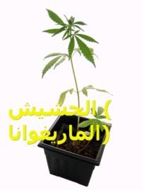 Planta de Marihuana/Marijuana Plant