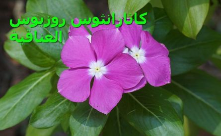 Catharanthus_roseus_ العناقية6