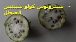 Citrullus_colocynthis-2-سيترولوس كولو سينتس - الحنظل JPG