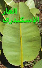 الغار الإسكندري-Calophyllum_inophyllum_leave_reverse