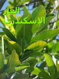 الغار الإسكندريCalophyllum_inophyllum
