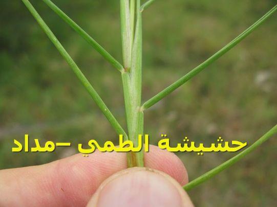 حشيشة الطمي –مداد19)